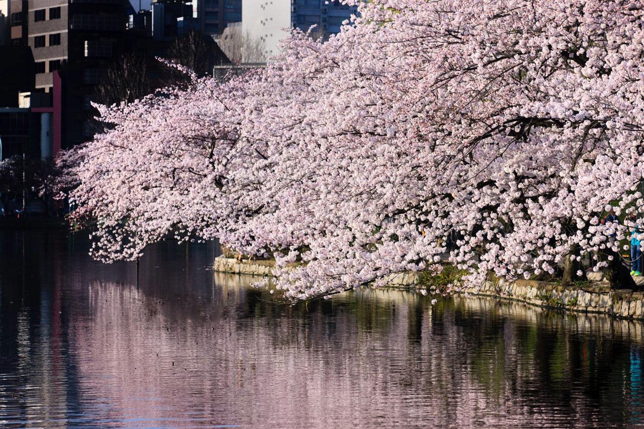 Dự báo lịch nở hoa anh đào Nhật Bản 2020