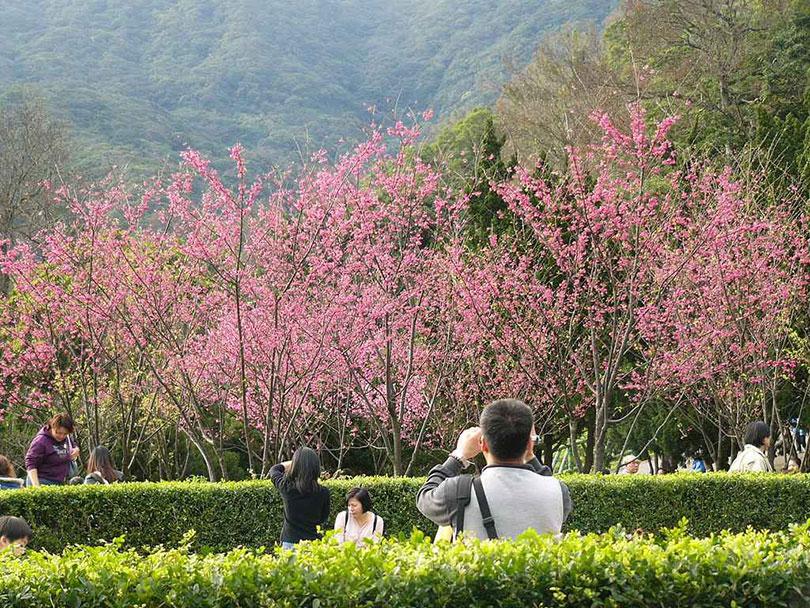 Đài Loan - Ngẩn ngơ nét đẹp hoa anh đào